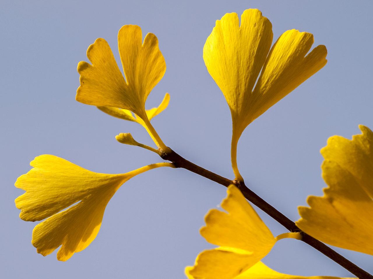 yellow leaf ginkgo